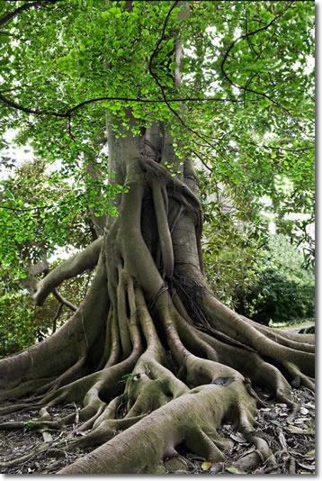 Foto di un albero secolare con enormi radici che fuoriescono dal
