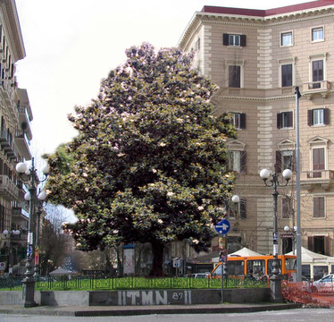 Quale albero sostituirà la palma di Piazza Vanvitelli? Il sondaggio del comune